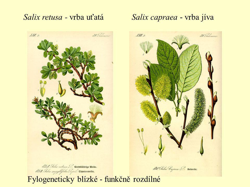 Salix retusa - vrba uťatá