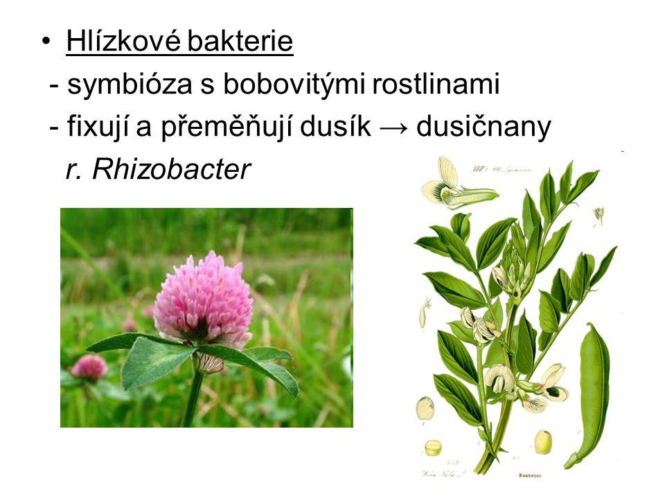 Hlízkové bakterie - symbióza s bobovitými rostlinami.