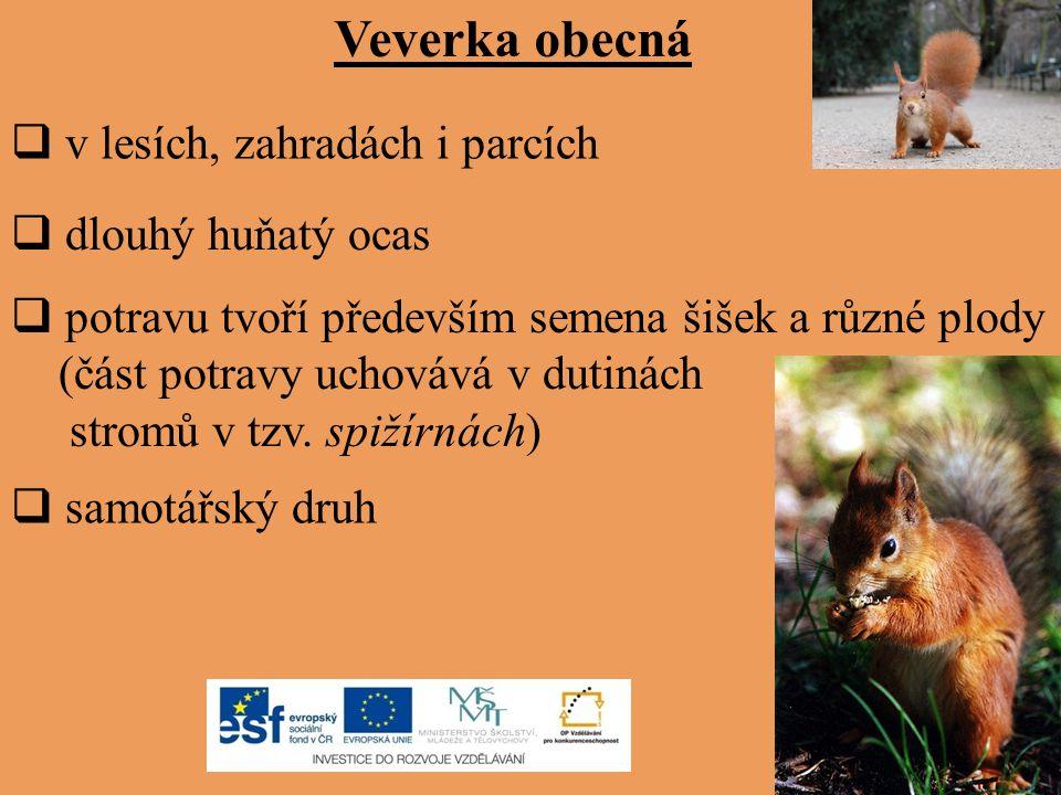 Veverka obecná v lesích, zahradách i parcích dlouhý huňatý ocas