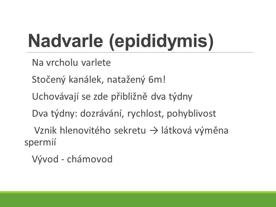 Nadvarle (epididymis)