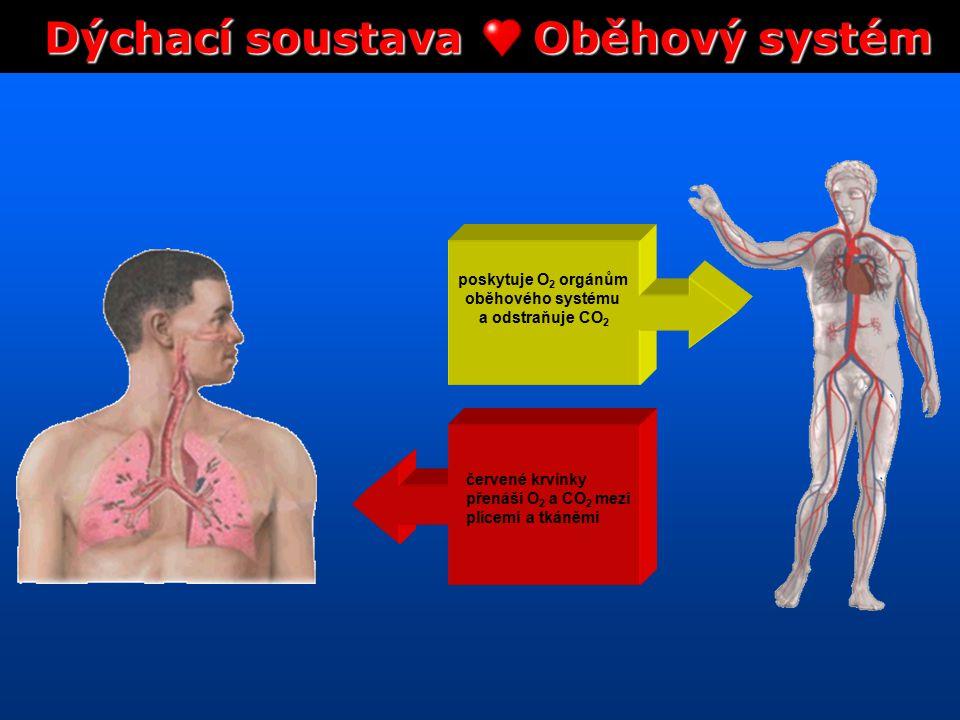 Dýchací soustava Oběhový systém