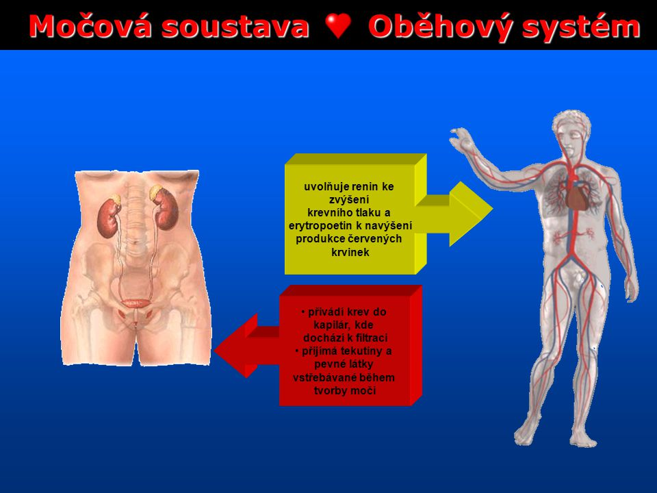 Močová soustava Oběhový systém erytropoetin k navýšení