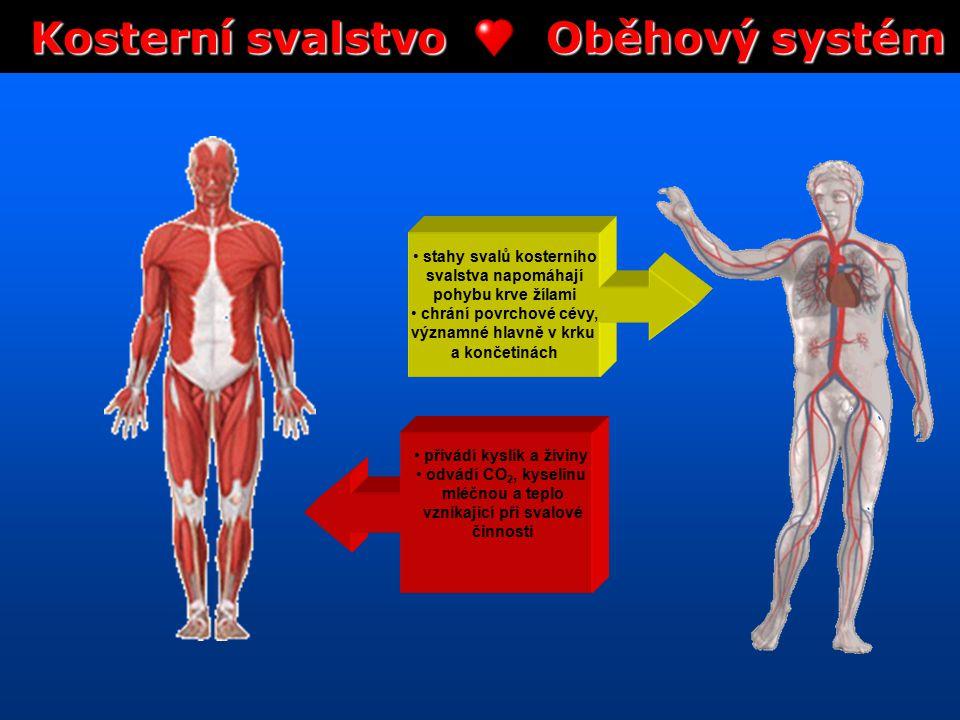 Kosterní svalstvo Oběhový systém