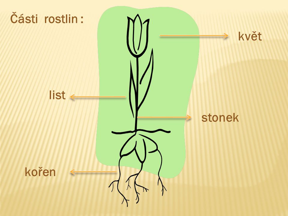 Části rostlin : květ list stonek kořen