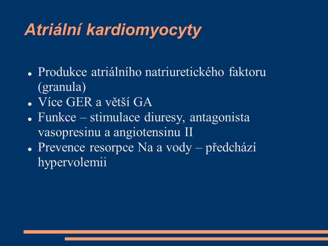 Atriální kardiomyocyty
