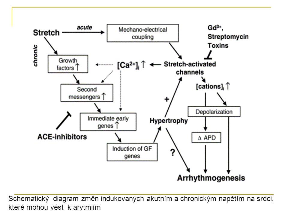Schematický diagram změn indukovaných akutním a chronickým napětím na srdci,