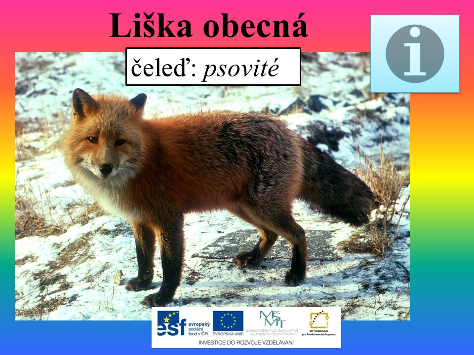 Liška obecná čeleď: psovité