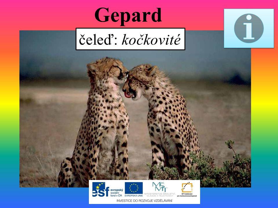 Gepard čeleď: kočkovité