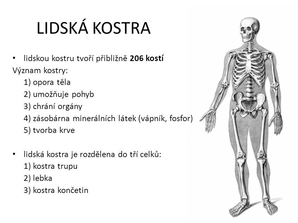 LIDSKÁ KOSTRA lidskou kostru tvoří přibližně 206 kostí Význam kostry: