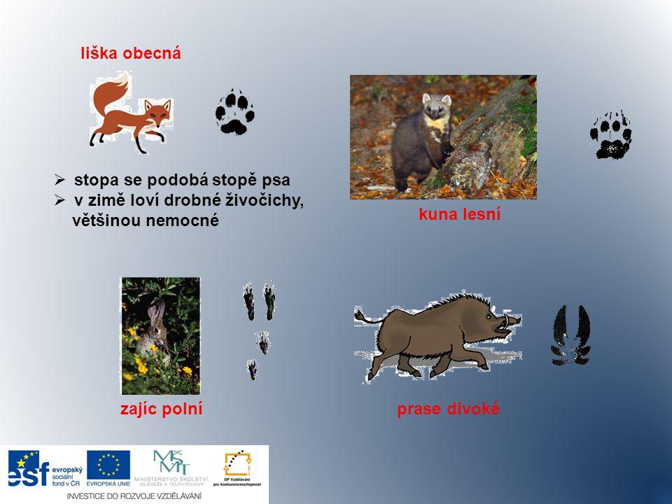 liška obecná kuna lesní. stopa se podobá stopě psa. v zimě loví drobné živočichy, většinou nemocné.