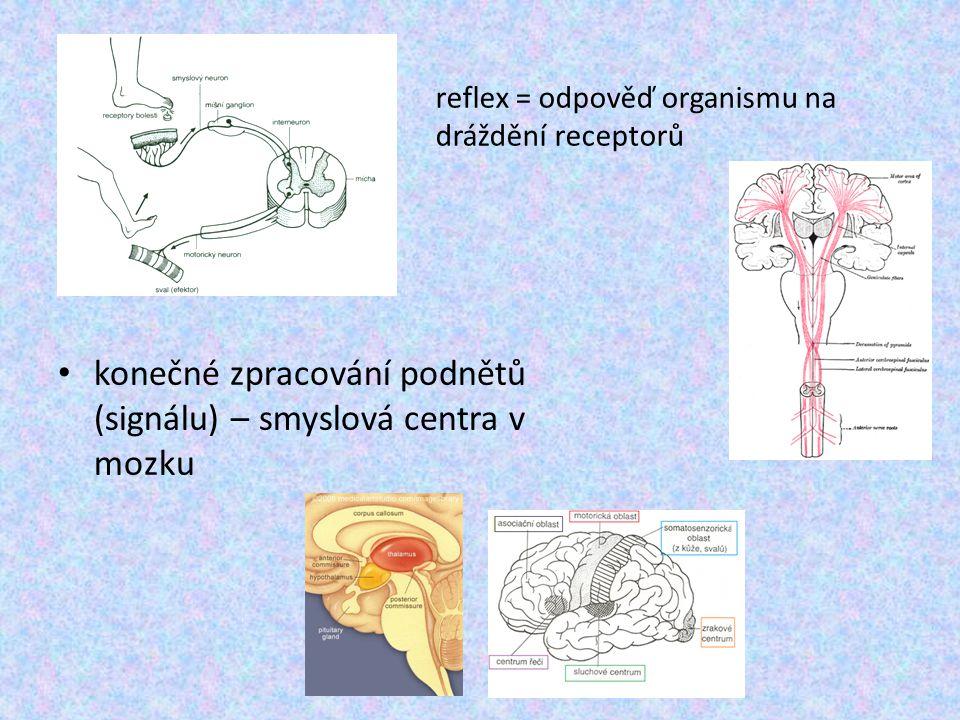 konečné zpracování podnětů (signálu) – smyslová centra v mozku