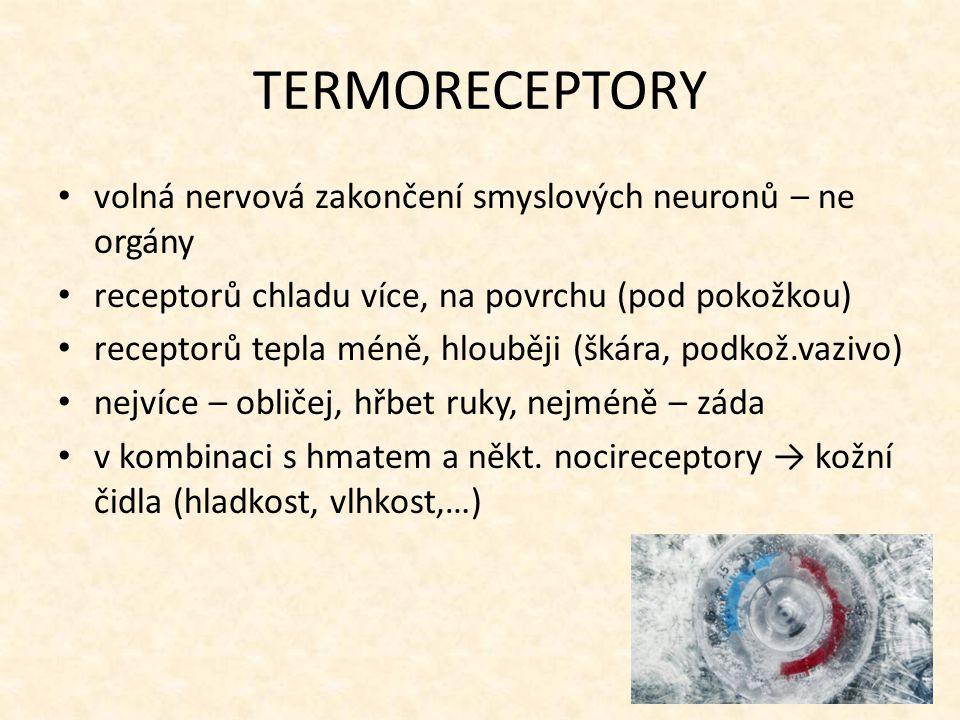 TERMORECEPTORY volná nervová zakončení smyslových neuronů – ne orgány