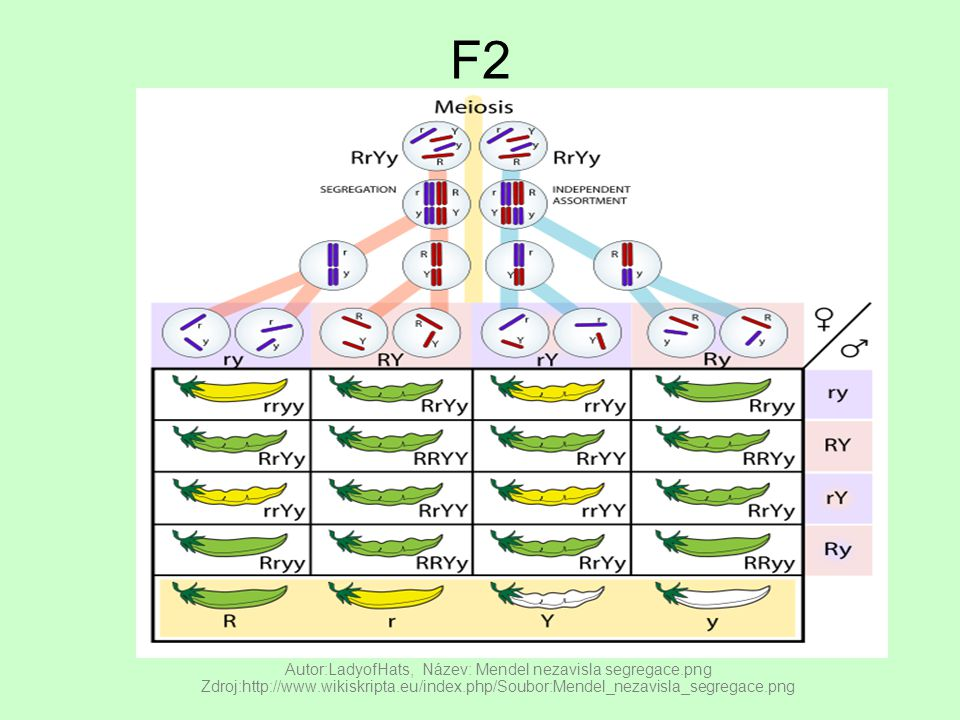F2 Autor:LadyofHats, Název: Mendel nezavisla segregace.png Zdroj:http://www.wikiskripta.eu/index.php/Soubor:Mendel_nezavisla_segregace.png.