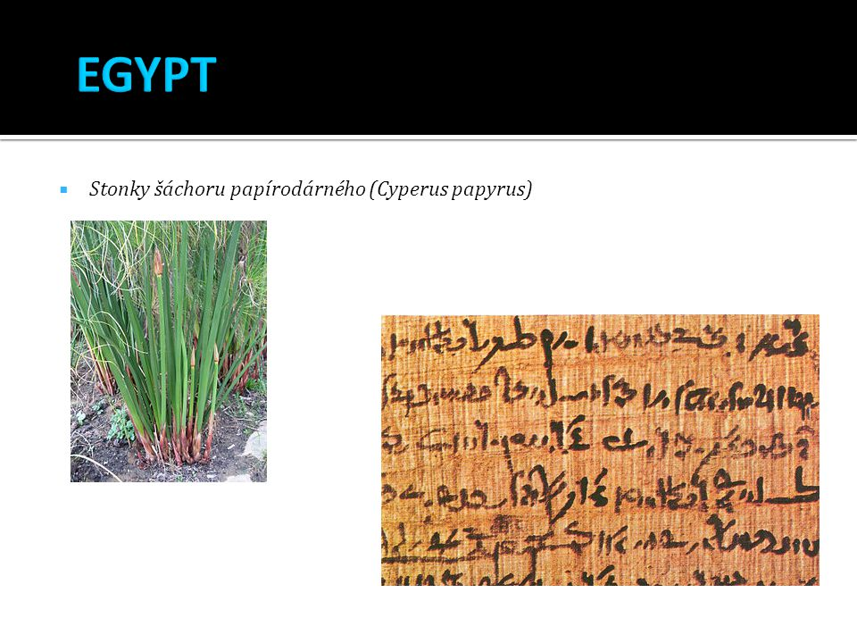 EGYPT Stonky šáchoru papírodárného (Cyperus papyrus)