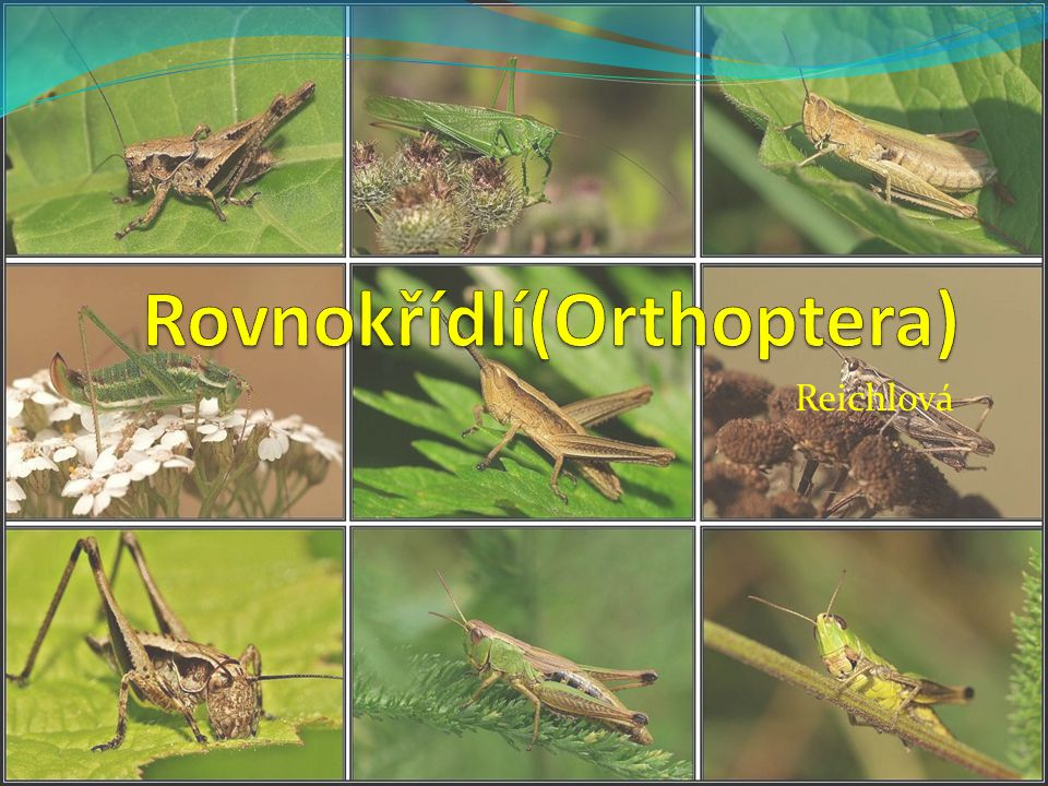 Rovnokřídlí(Orthoptera)