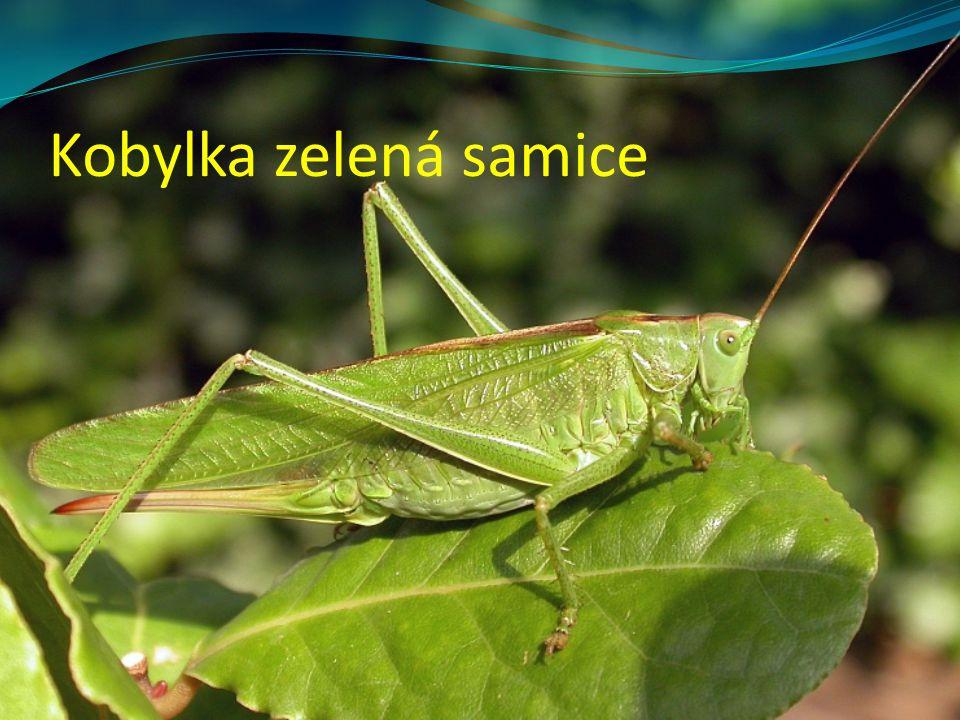 Kobylka zelená samice