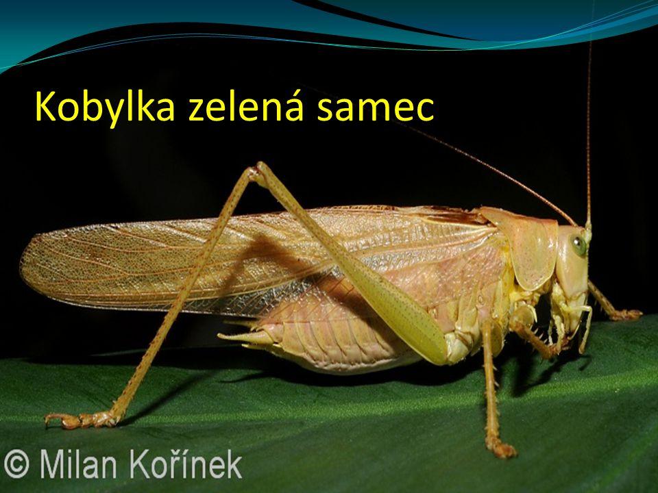 Kobylka zelená samec