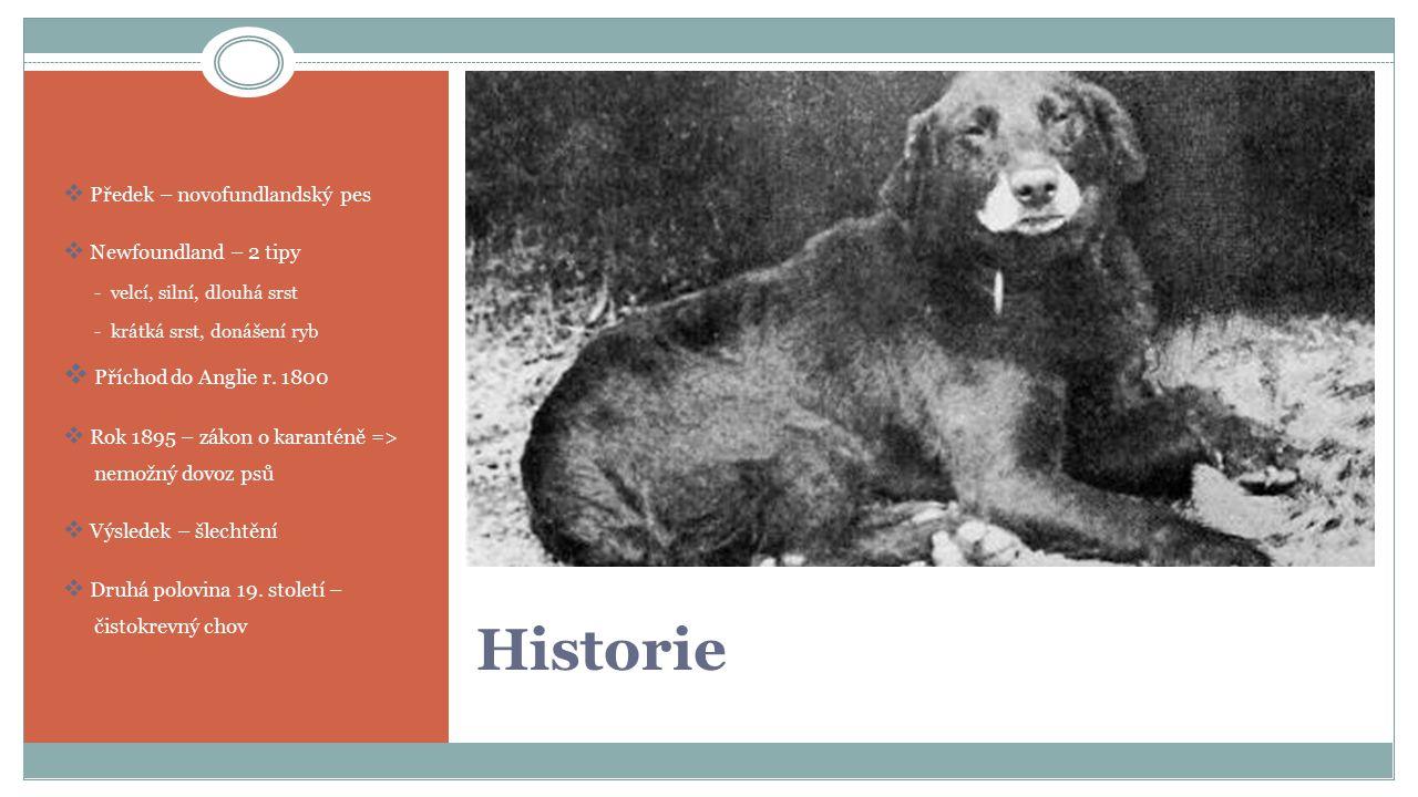 Historie Příchod do Anglie r. 1800 Předek – novofundlandský pes