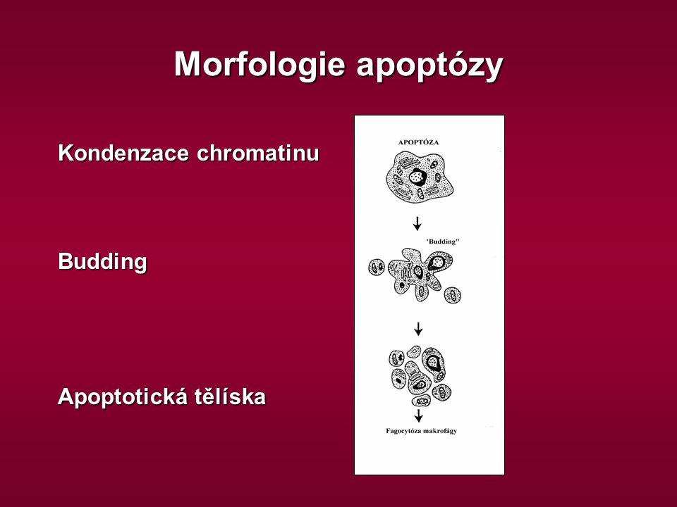 Morfologie apoptózy Kondenzace chromatinu Budding Apoptotická tělíska