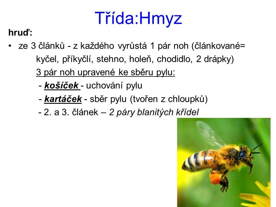 Třída:Hmyz hruď: ze 3 článků - z každého vyrůstá 1 pár noh (článkované= kyčel, příkyčlí, stehno, holeň, chodidlo, 2 drápky)