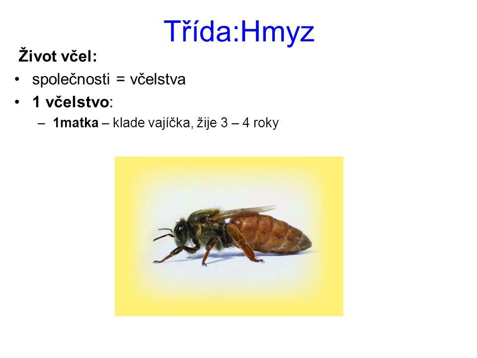 Třída:Hmyz Život včel: společnosti = včelstva 1 včelstvo: