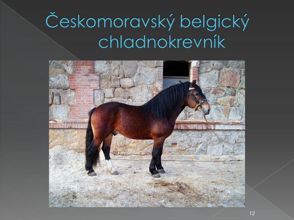 Českomoravský belgický chladnokrevník