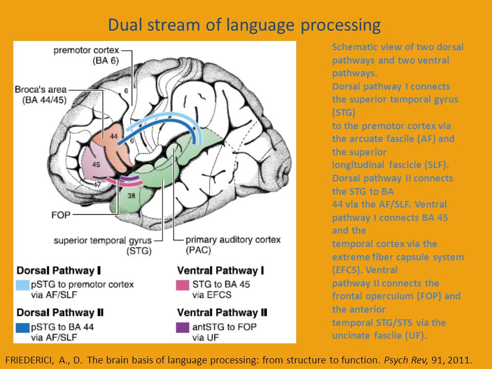 Dual stream of language processing