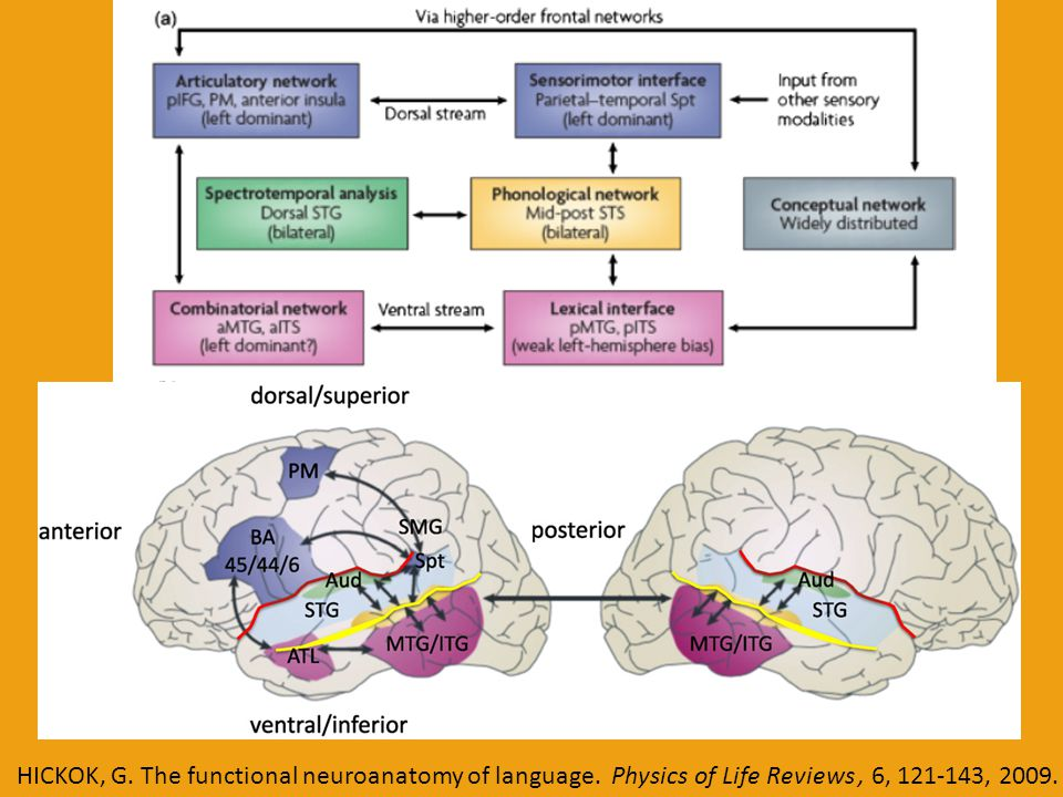 HICKOK, G. The functional neuroanatomy of language