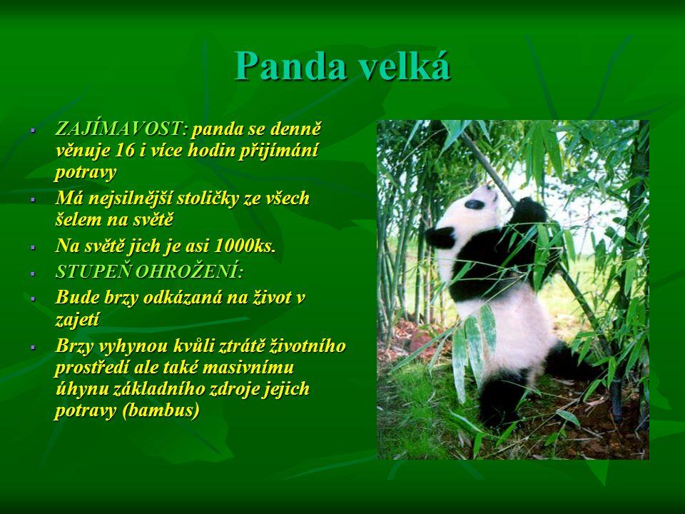 Panda velká ZAJÍMAVOST: panda se denně věnuje 16 i více hodin přijímání potravy. Má nejsilnější stoličky ze všech šelem na světě.
