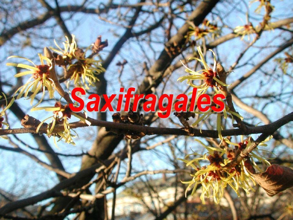 Saxifragales