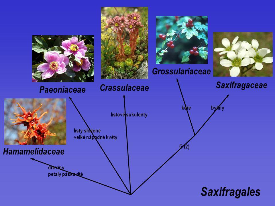 Saxifragales Grossulariaceae Saxifragaceae Crassulaceae Paeoniaceae