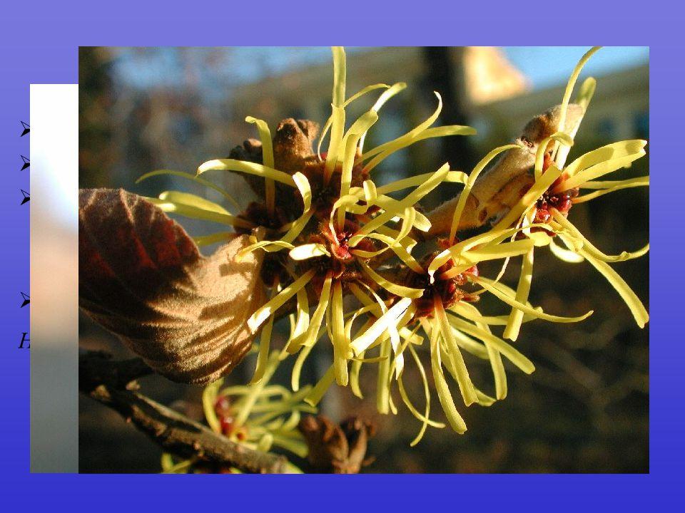 Hamamelidaceae fosilní doklady již do křídy 25/100 dřeviny