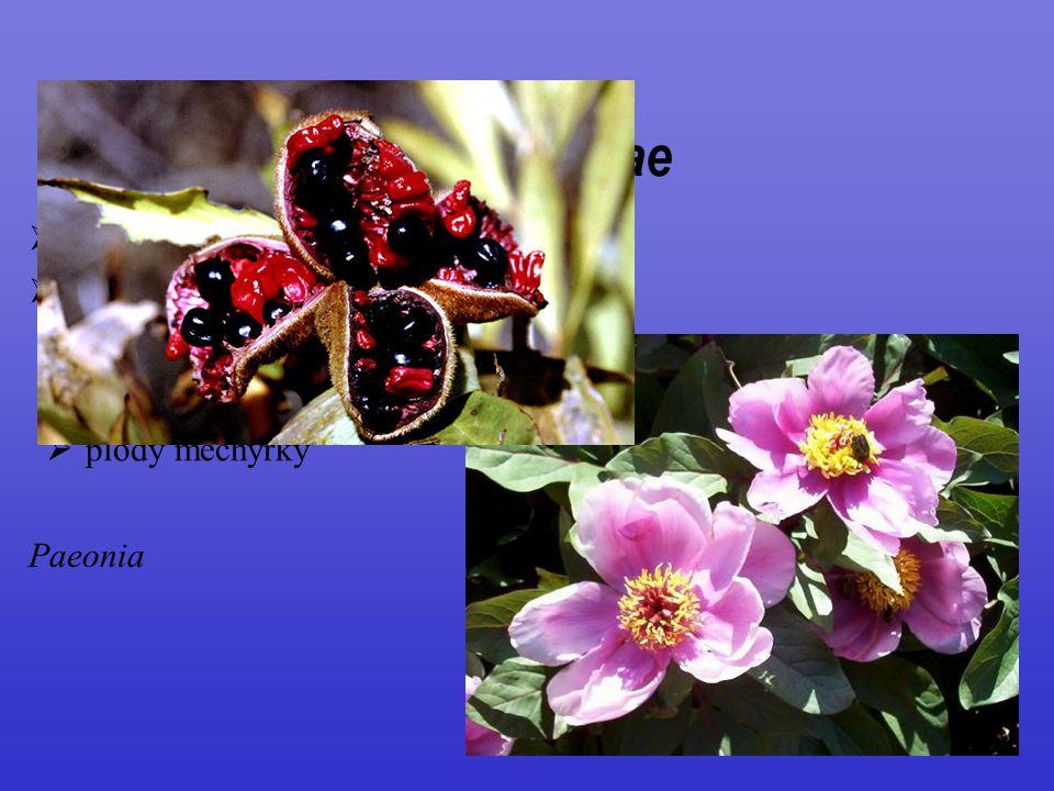 Paeoniaceae 1/33; jen severní polokoule trsnaté byliny až polokeře
