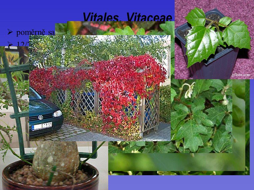 Vitales, Vitaceae poměrně samostatně stojící skupina
