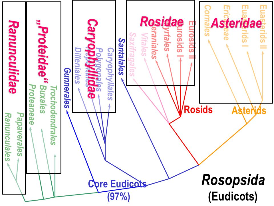"Rosopsida (Eudicots) Ranunculidae ""Proteidae Caryophyllidae Rosidae"
