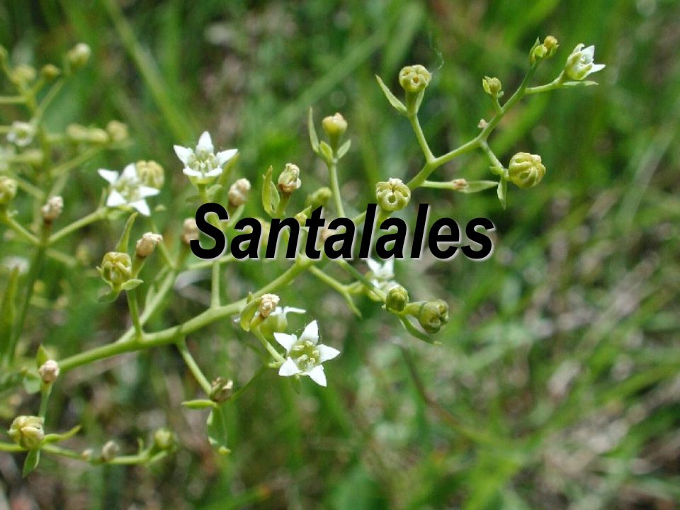 Santalales