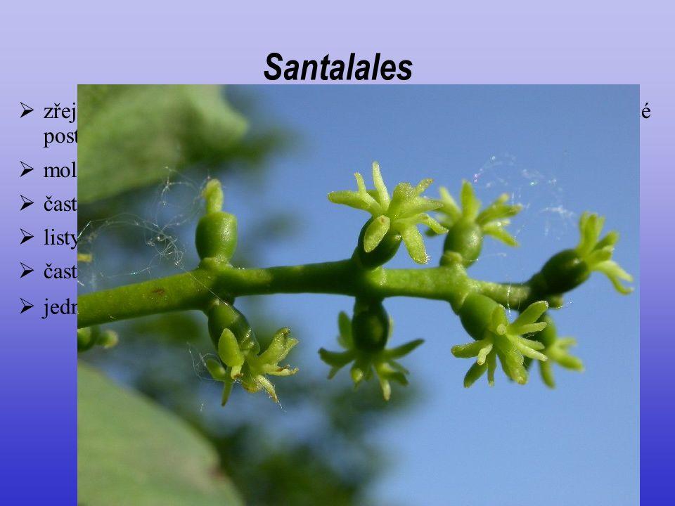 Santalales zřejmě monofyletická, poměrně izolovaná skupina, ne zcela jisté postavení. molekulární znaky.
