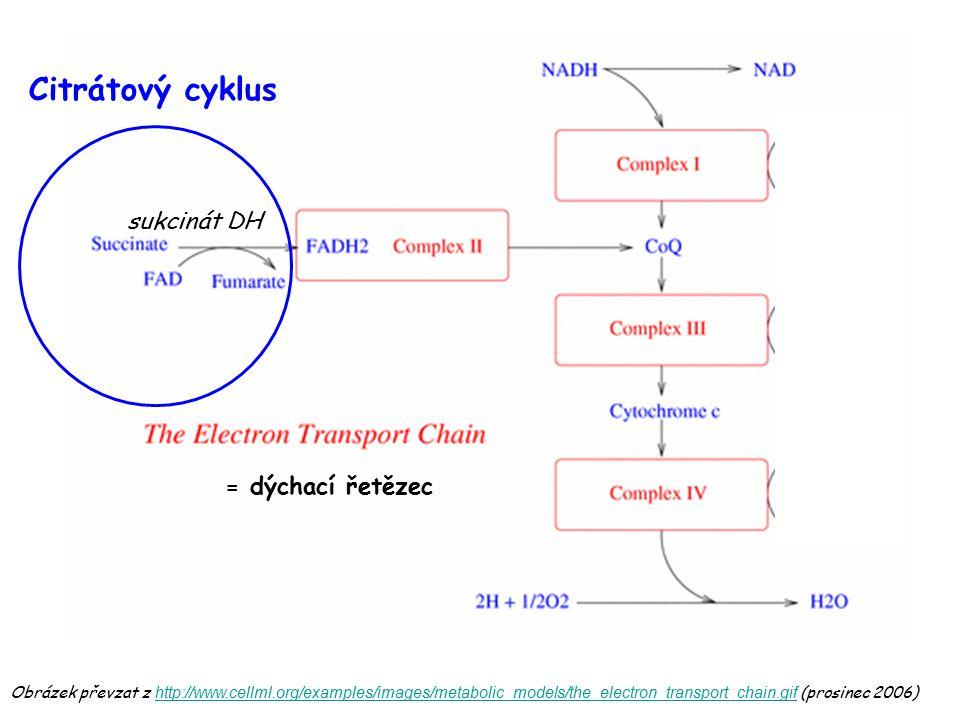 Citrátový cyklus sukcinát DH = dýchací řetězec