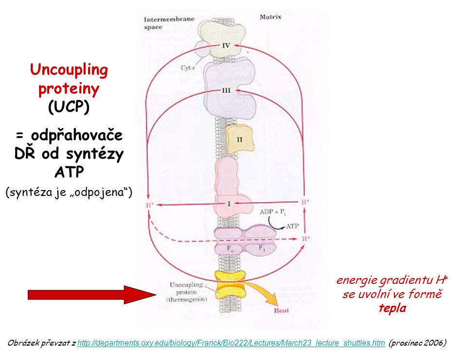 Uncoupling proteiny (UCP)