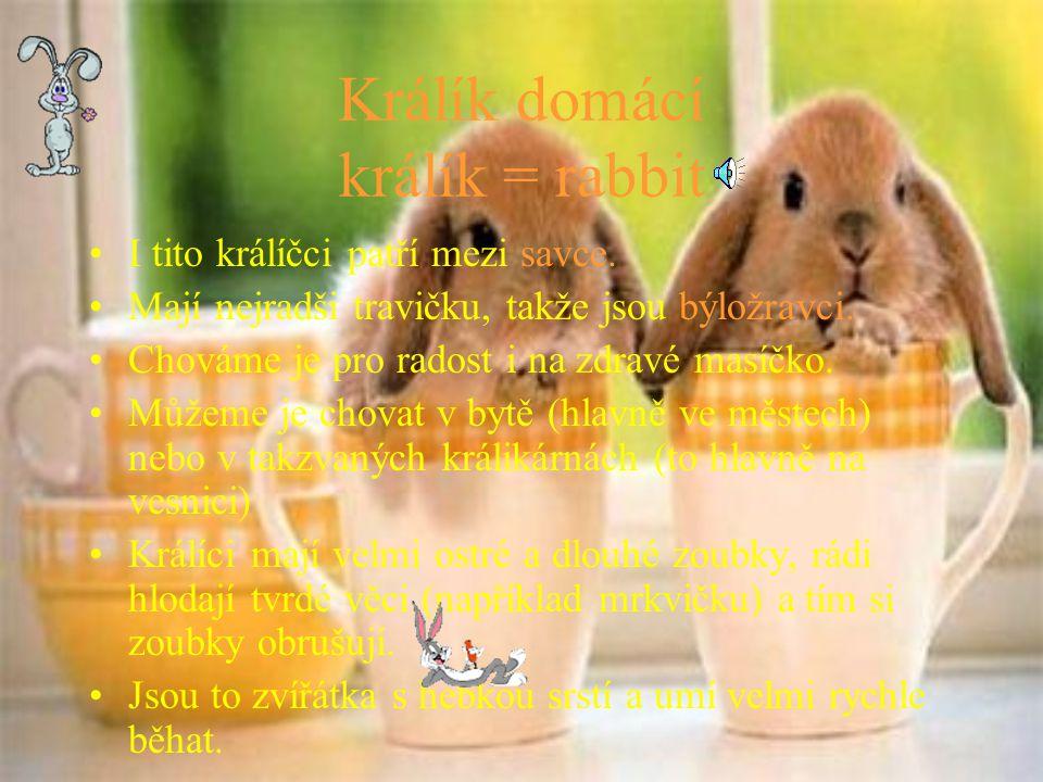 Králík domácí králík = rabbit
