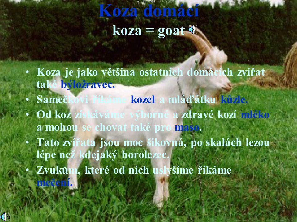 Koza domácí koza = goat Koza je jako většina ostatních domácích zvířat také býložravec. Samečkovi říkáme kozel a mláďátku kůzle.