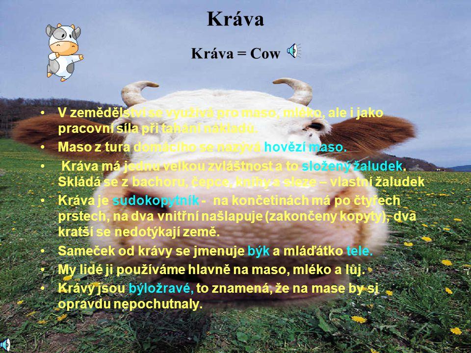 Kráva Kráva = Cow V zemědělství se využívá pro maso, mléko, ale i jako pracovní síla při tahání nákladů.