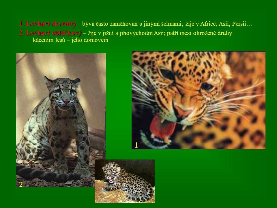 1. Levhart skvrnitý – bývá často zaměňován s jinými šelmami; žije v Africe, Asii, Persii…