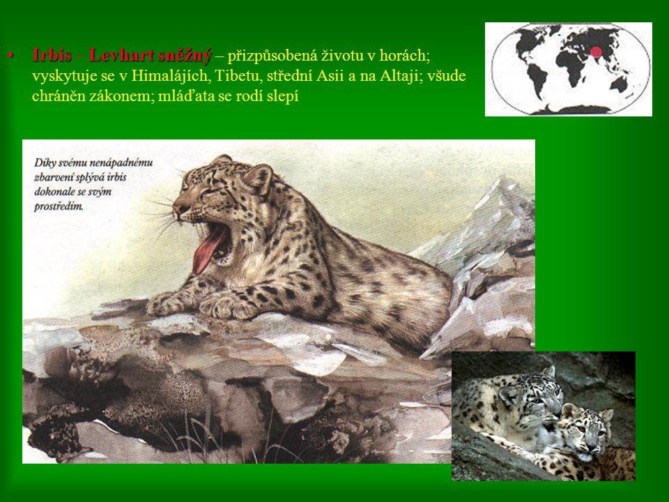 Irbis – Levhart sněžný – přizpůsobená životu v horách; vyskytuje se v Himalájích, Tibetu, střední Asii a na Altaji; všude chráněn zákonem; mláďata se rodí slepí