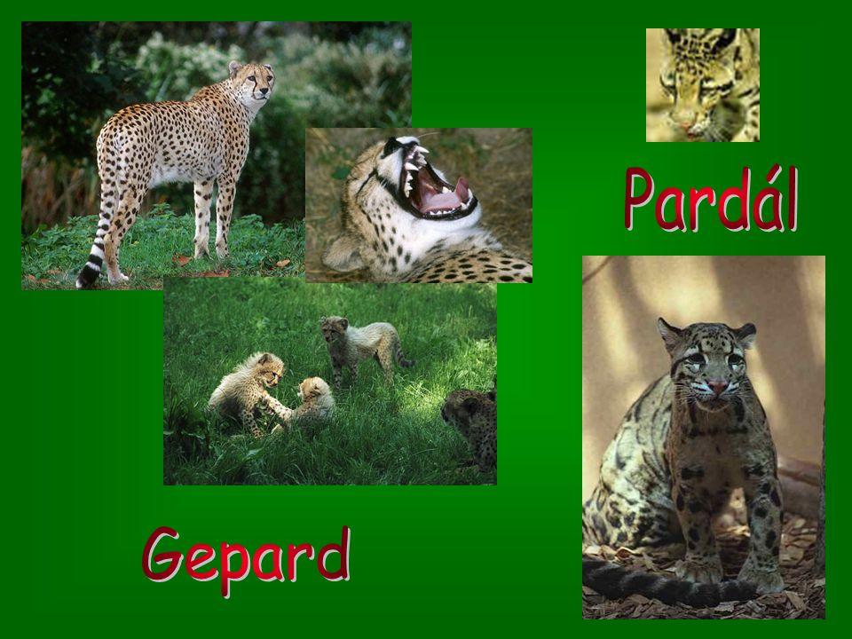Pardál Gepard
