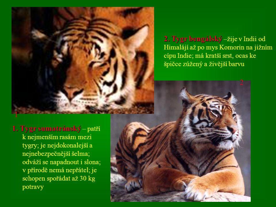 2. Tygr bengálský –žije v Indii od Himalájí až po mys Komorin na jižním cípu Indie; má kratší srst, ocas ke špičce zúžený a živější barvu