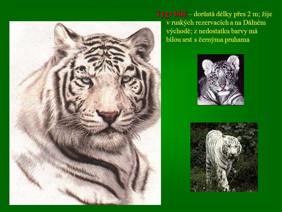 Tygr bílý – dorůstá délky přes 2 m; žije v ruských rezervacích a na Dálném východě; z nedostatku barvy má bílou srst s černýma pruhama