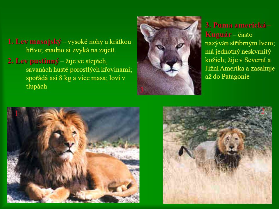 3. Puma americká – Kuguár – často nazýván stříbrným lvem; má jednotný neskvrnitý kožich; žije v Severní a Jižní Amerika a zasahuje až do Patagonie