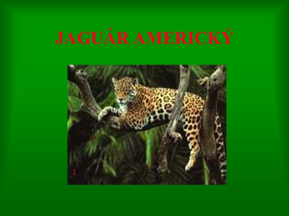 JAGUÁR AMERICKÝ 1
