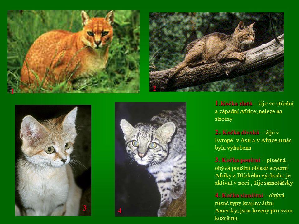 2 1. 1.Kočka zlatá – žije ve střední a západní Africe; neleze na stromy. 2. Kočka divoká – žije v Evropě, v Asii a v Africe;u nás byla vyhubena.
